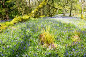 Bluebells carpeting a wood in Galloway