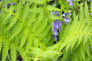 Bluebells and bracken